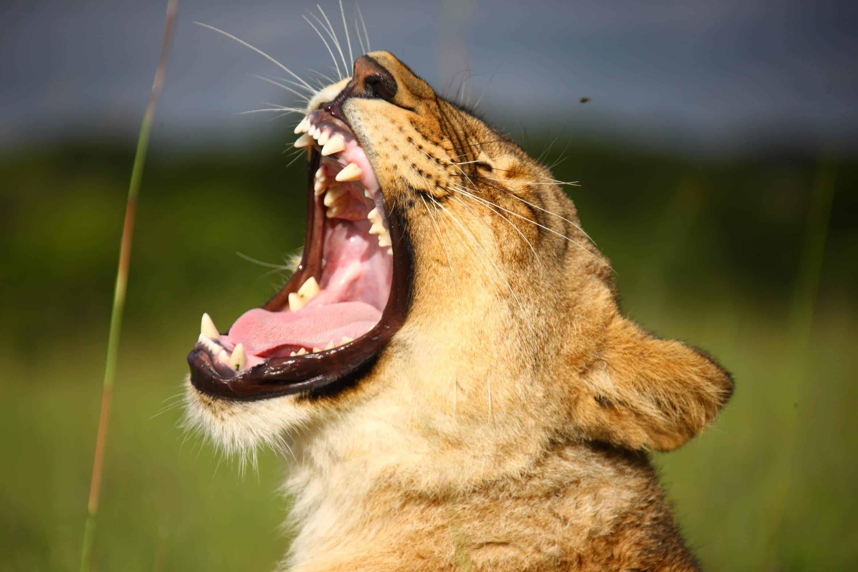 Lionwalk-lionyawn-victoriafalls-zimbabwe