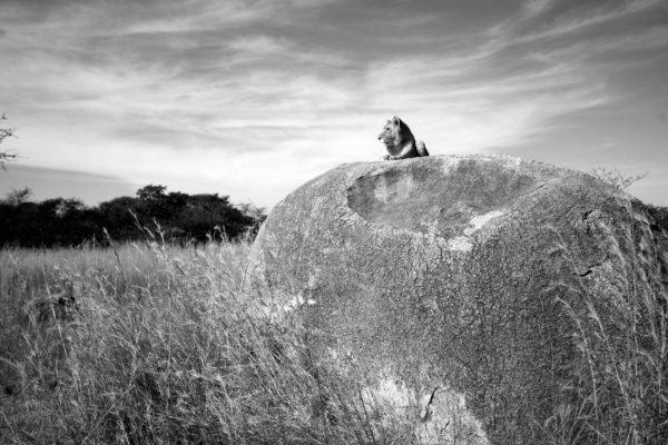 Victoriafalls-zimbabwe-lionencounter